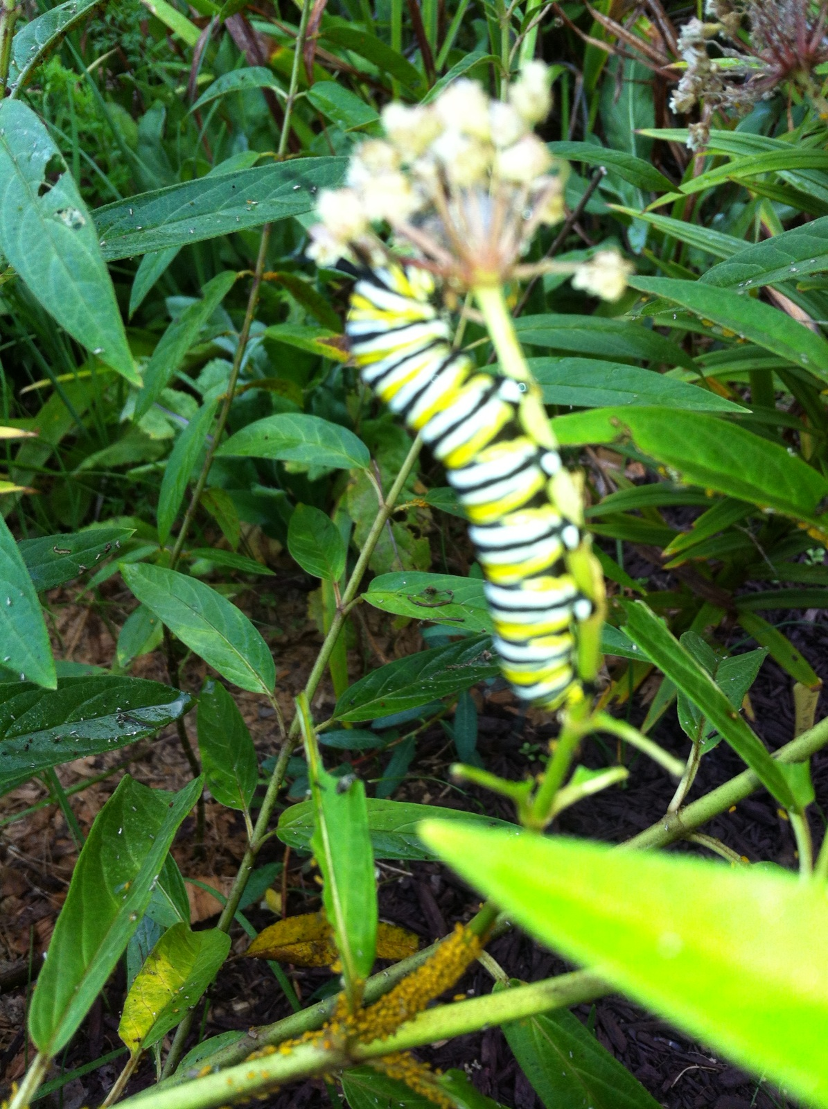 milkweed report Common milkweed is the main food plant for monarch butterfly larvae  flowers  in one umbel the average flower number per umbel has been reported as 76.