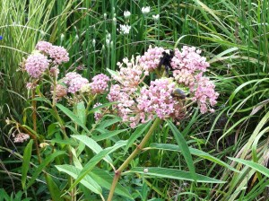 Milkweed and Friends