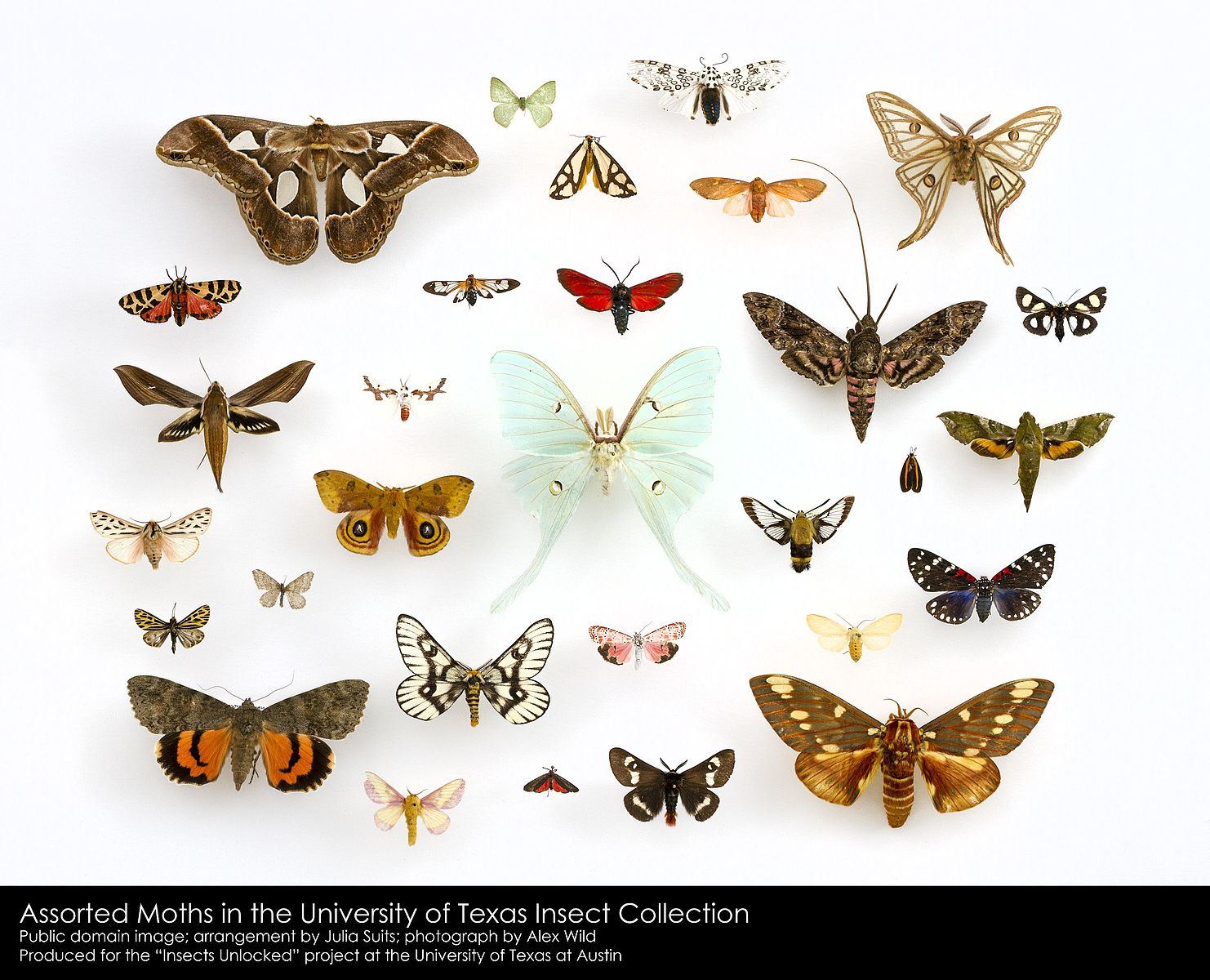 Moths: the unsuspected pollinators