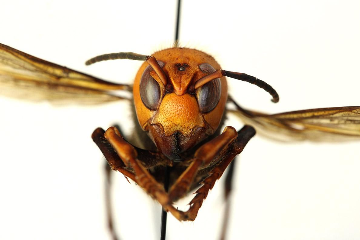 East Asian Hornets and other hornets