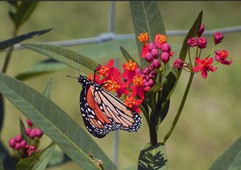 Creating a Monarch Waystation